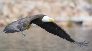 """And to the woman were given two wings of a great eagle, that she might fly into the wilderness…"" (Revelation 12:14)"
